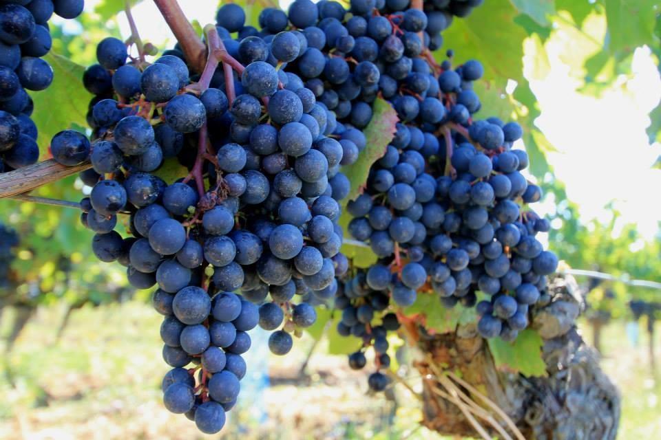 La cepa de vino Malbec